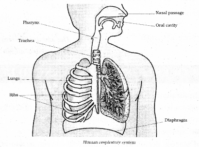 KSEEB Solutions for Class 7 Science Chapter 10 Respiration in Organisms 3