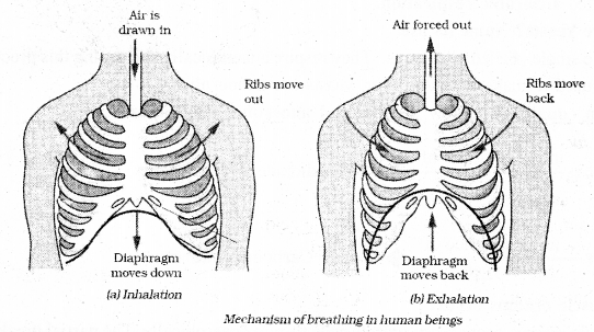 KSEEB Solutions for Class 7 Science Chapter 10 Respiration in Organisms 4